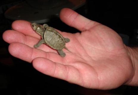Baby Turtles That Fit in the Palm of Your  Hand Seen On www.coolpicturegallery.us