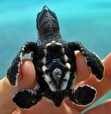 Cute baby sea turtles in the water - photo#20