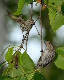 Arriving soon, pine siskins, a winter bird