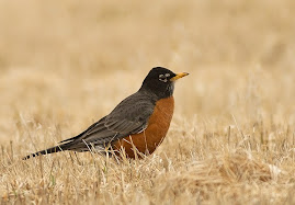 American Robin, here all winter?