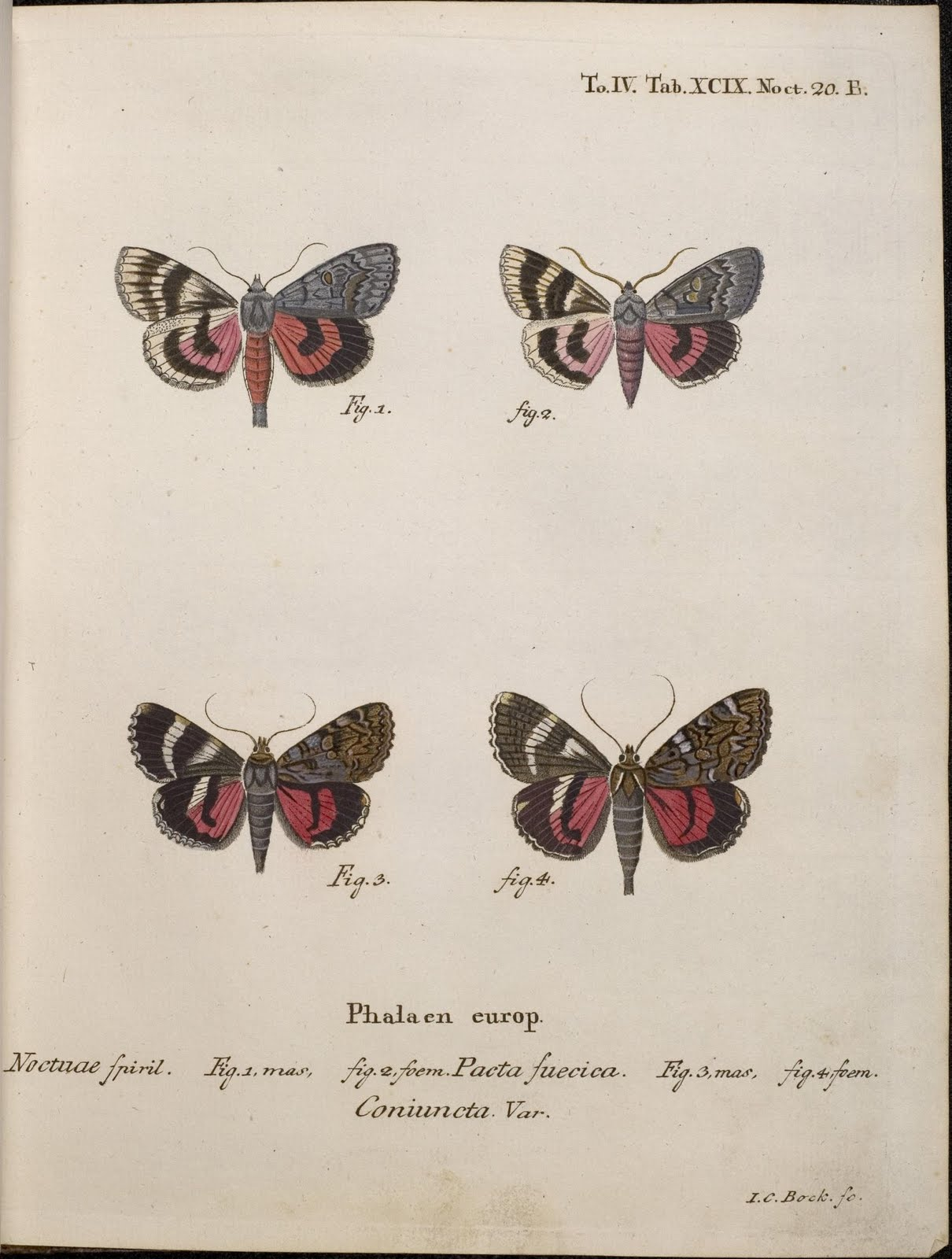 hand-coloured engravings of moths