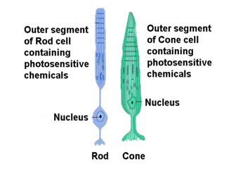 Clear sci sos save our science seeing sharks false coloured diagram of a rod cell and a cone cell the cells in the eye that detect light source ccuart Images