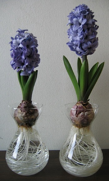 growing hyacinth bulbs in water k 2017