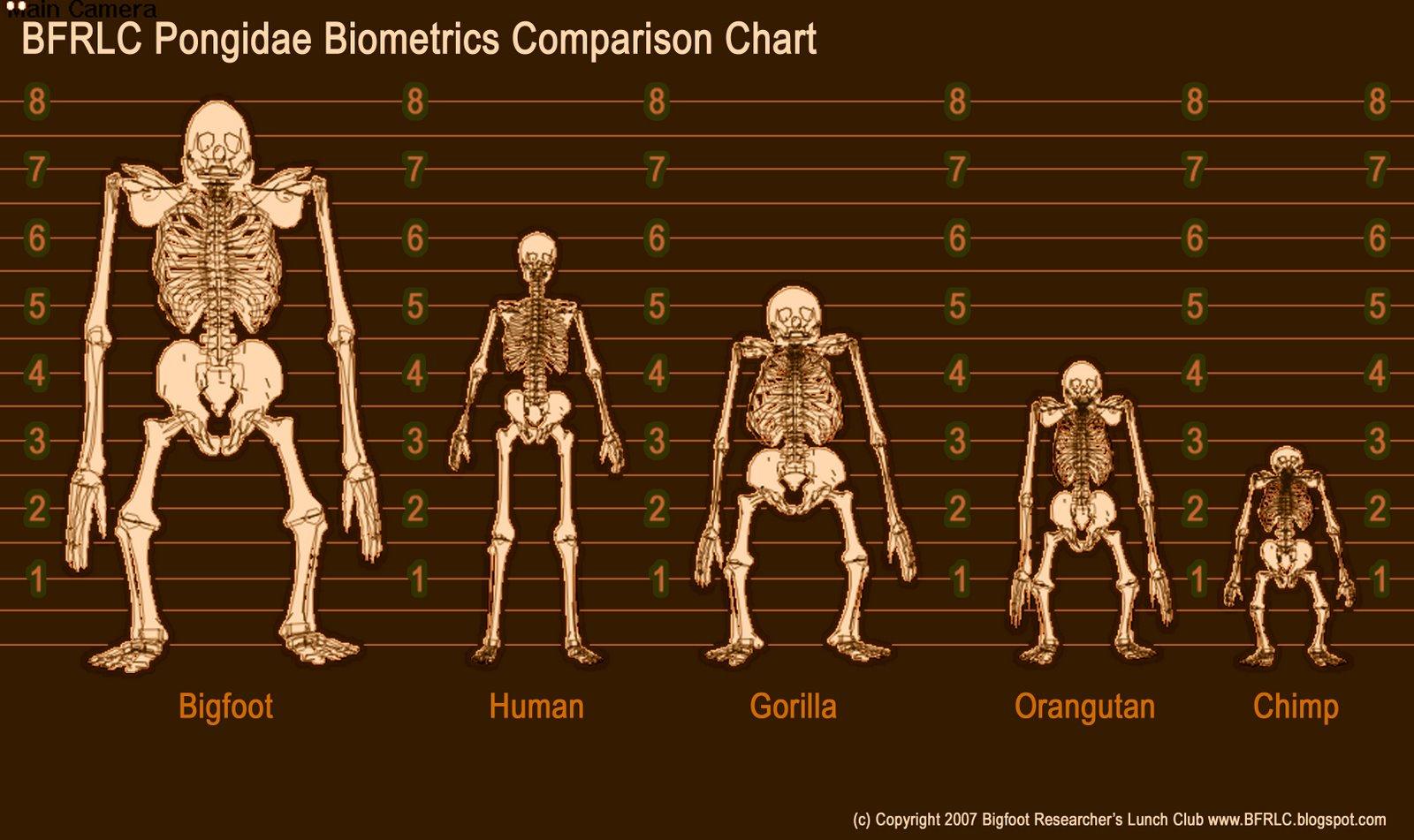 Gigantopithecus Gigantopithecus Skelet...