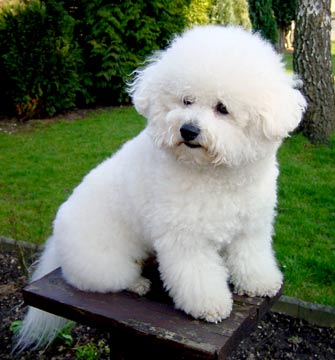 Bichon Frise Puppies on Bichon Frise Breeders Healthy Puppies And Dna   Animaldiscovery Chanel