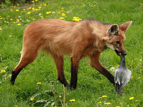 http://3.bp.blogspot.com/_qYUmrCOFbmg/TRCLz-KhBZI/AAAAAAAABHg/yp1B-tEYT9E/s1600/Maned+Wolf.jpg