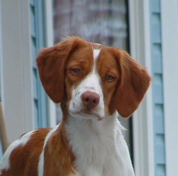 Brittany Spaniel Dogs