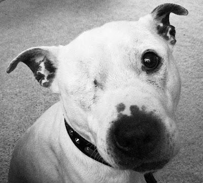 One-eyed pitbull