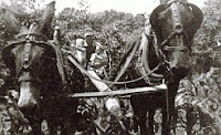 A black and white photo of a mule team plowing a field of corn, late 1950s.