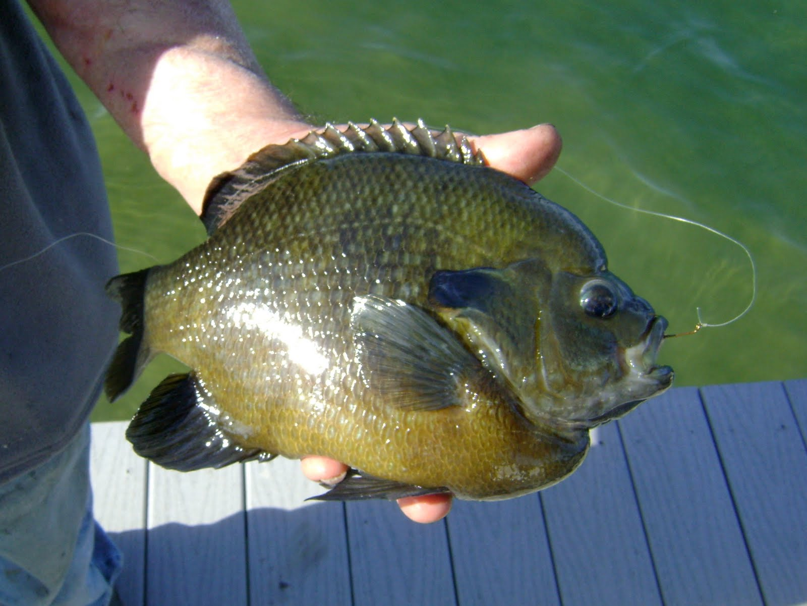 herman brothers blog huge two pound monster bluegill
