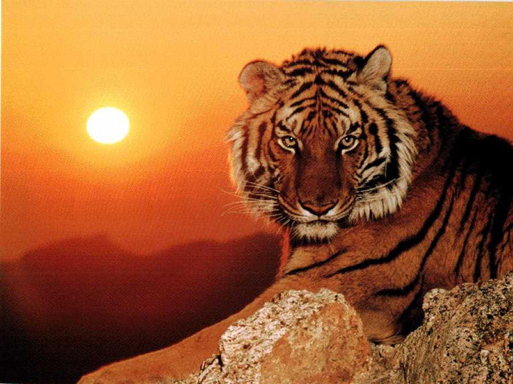 de tigres