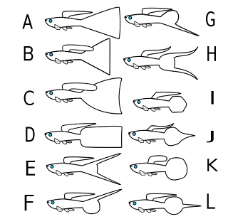 Gelombang Biru: Ikan Gupi