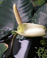 flowering anubias
