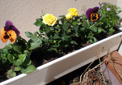 yellow miniature mother's day rose pansies lobelias