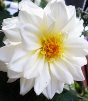 flower white dahlia