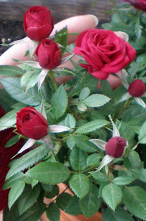 red miniature mother's day rose