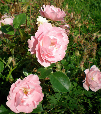 pink rose sommerwind