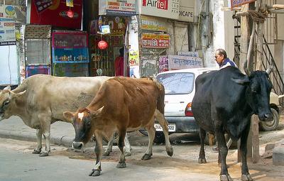 vacas de la India