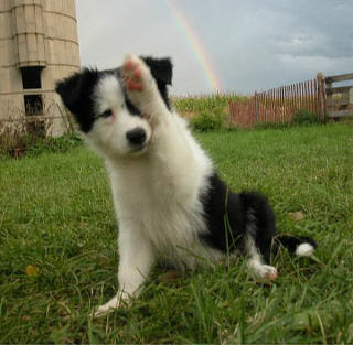 Collie Puppies on Border Collie  If A Dog Can Actually Look Intelligent  This Is It