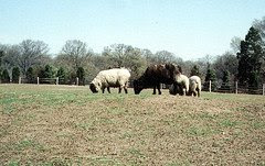 Mount Vernon Sheep