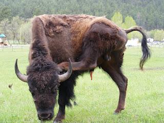 Buffalo itch