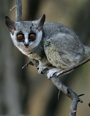 bush baby monkey. ush baby lemur. ush abies