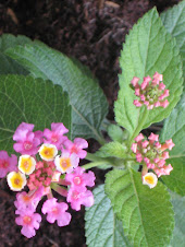 lantana