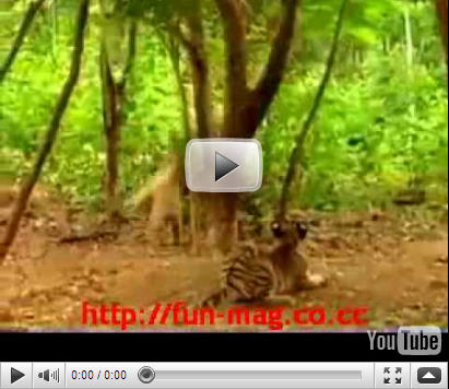 this monkey is having fun teasing and harrasing baby tigers check out
