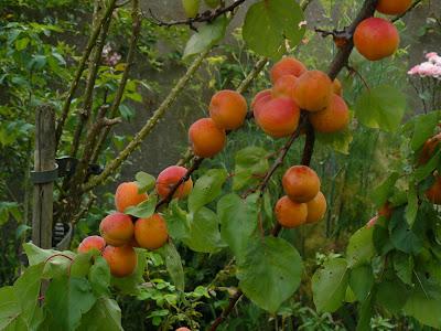 Temps de jardin la g n rosit de l 39 abricotier cette ann e - Quand tailler les abricotiers ...