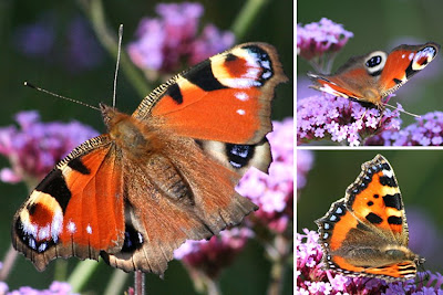Small Tortoiseshell Butterfly, Small Tortoiseshell Butterfly Pictures