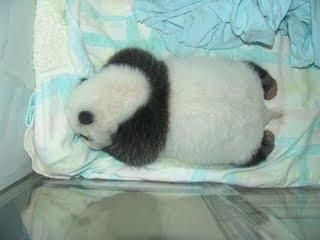 El nacimiento de un panda - imágenes únicas