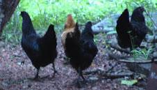 chicken stories stars