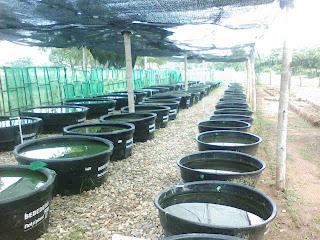Blog acuicola cbc produccion de alimento vivo para for Reproduccion de peces ornamentales