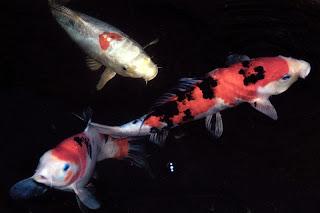 7 the longest lived animals amazing world for Fake koi fish
