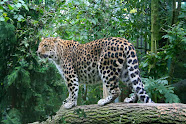 I am the Amur Leopard and only 30 to 35 of us remain in the wild and we are critically endangered.