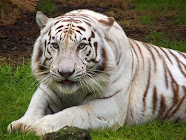 White color of the tiger is a genetic condition which eliminates the orange color in their fur.