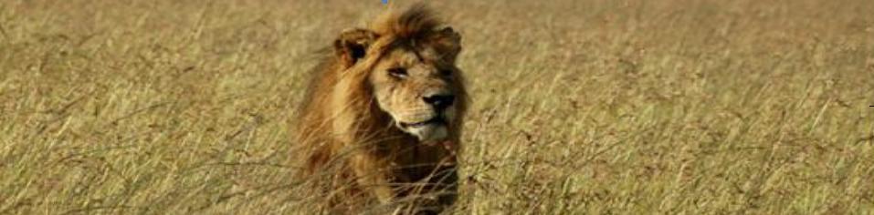 Bigcats - Lions
