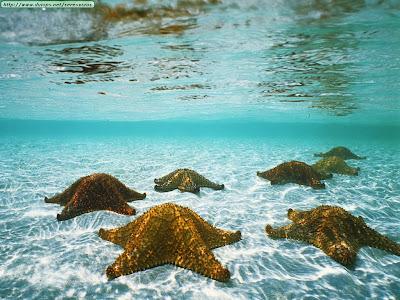 estrella de mar. usos de Estrella de mar,