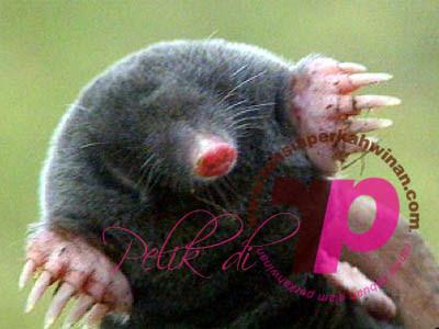 Muncung mole | peristiwa pelik, ganjil, weird, mysterious MALAYSIA