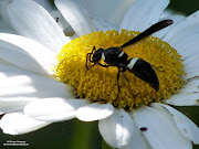 Hornet on Daisy. Posted by Anna at 9:38 AM No comments: