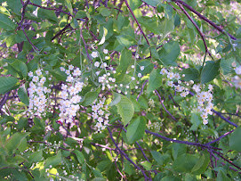 Choke Cherry Blossoms