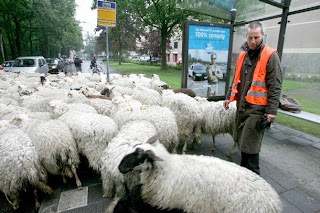 Scottish rural street sheep prostitutes being rounded up