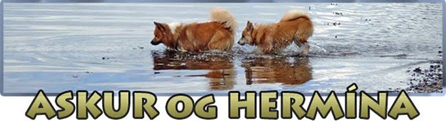 Islandshundene Askur, Hermína og Fífa