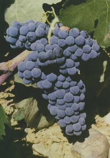Plant de vigne bobal