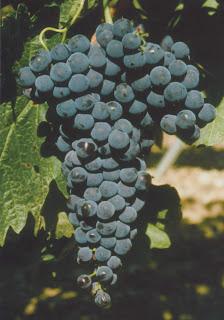 Cépages de vigne: Tempranillo