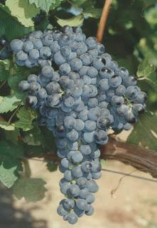 uvas de vino graciano