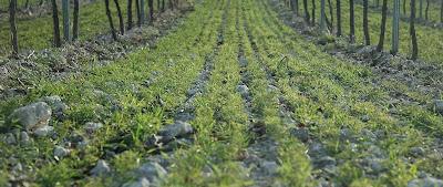 Cubiertas vegetales en Viticultura y manejo del suelo.