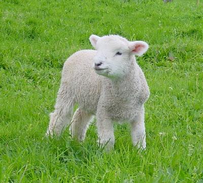 Omiljene domaće životinje Lamb