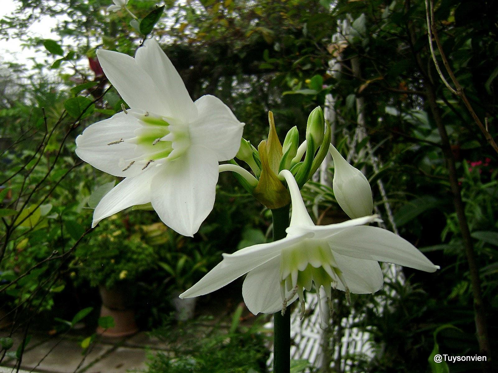 My Garden At Tuy Son Vien Amazon Lily