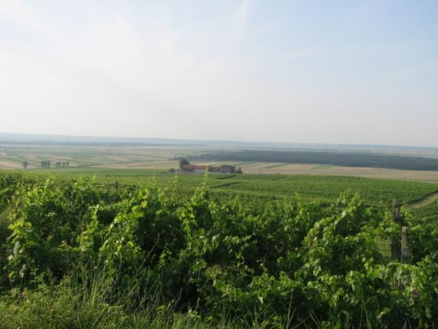 Viile si crama din dealul Starmina